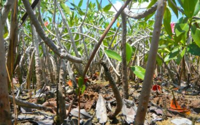 "ECU Scientists Help Filter Through ""Too Much Information"" in the Mangrove Conservation World"