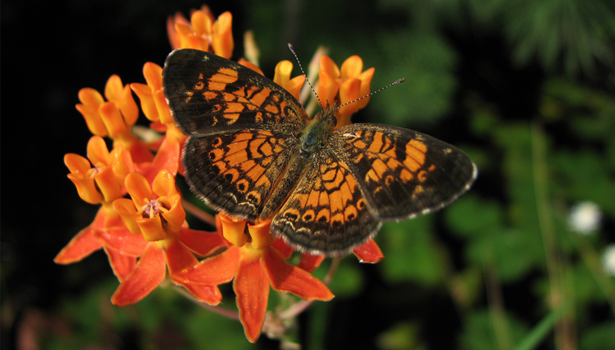 An orange and black butterfly sits on small-petaled orange flowers.