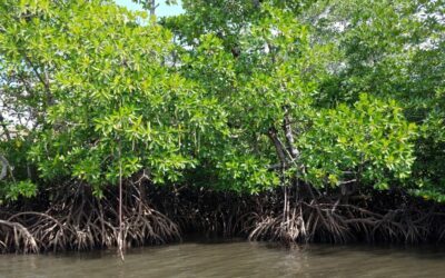 "Lagomasino Helps Categorize Mangroves by ""Biophysical Typology"""