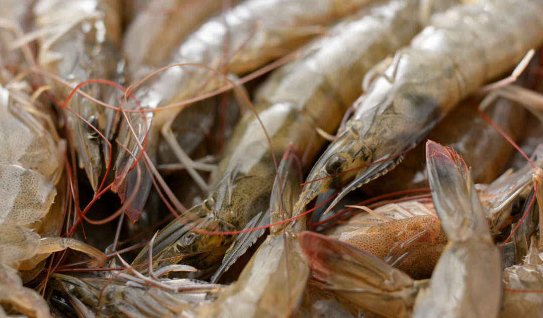 Researchers Share Updates on National Shrimp Day
